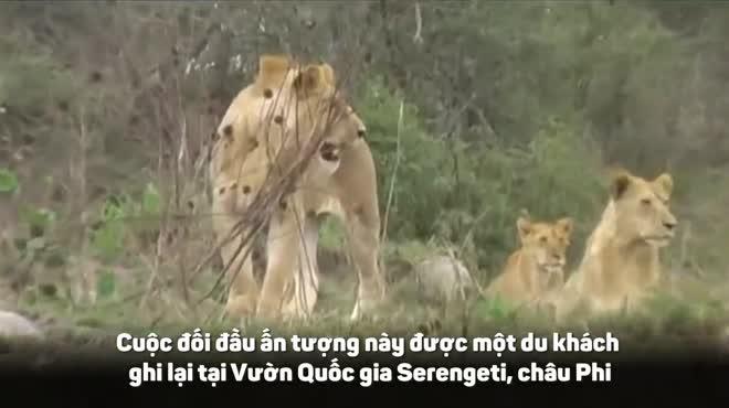 Bị bầy sư tử hơn chục con xâu xé, trâu rừng phản đòn quyết liệt và màn