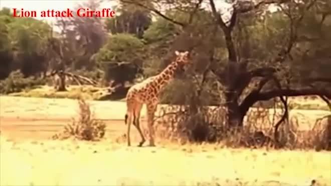 Video: Bay người lên không, sư tử hạ gục hươu cao cổ bằng ngón đòn
