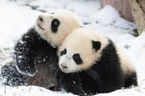 Gấu trúc ở Trung Quốc vui đùa trong tuyết trắng