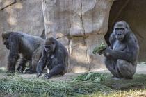 Lần đầu tiên phát hiện khỉ đột mắc Covid-19 ở Mỹ