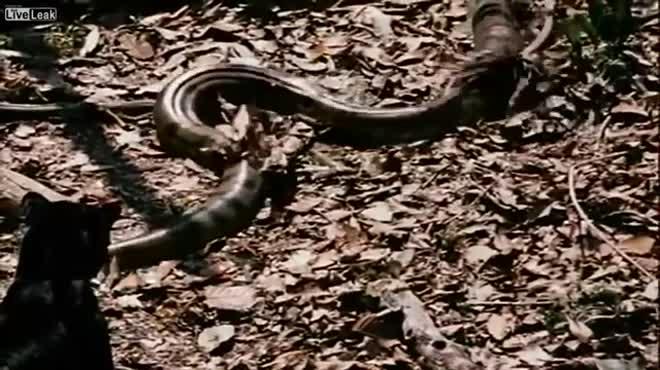 Tử chiến tay đôi, báo đen quật chết trăn Anaconda khổng lồ