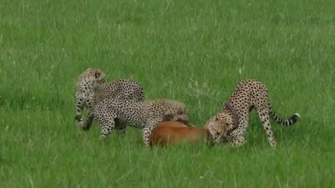 Cả đàn báo săn châu Phi tập trung đánh úp linh dương và cái kết ngỡ ngàng